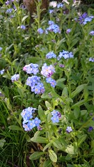 annual plant, flower, plant, lilac, herb, wildflower, flora, forget-me-not, meadow,