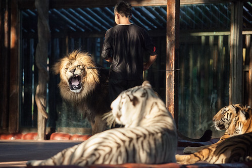 Lion training at Chuanlord Manor, Hong Kong 2013