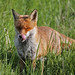 Fox salivating 13.5.2015 (1) by Margaret the Novice