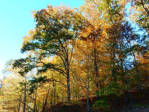 thissideofthesunshine rickchilders rcvernors trees forest hillside hill autumn fall sunlit backlit lighting foliage wv westvirginia orange yellow