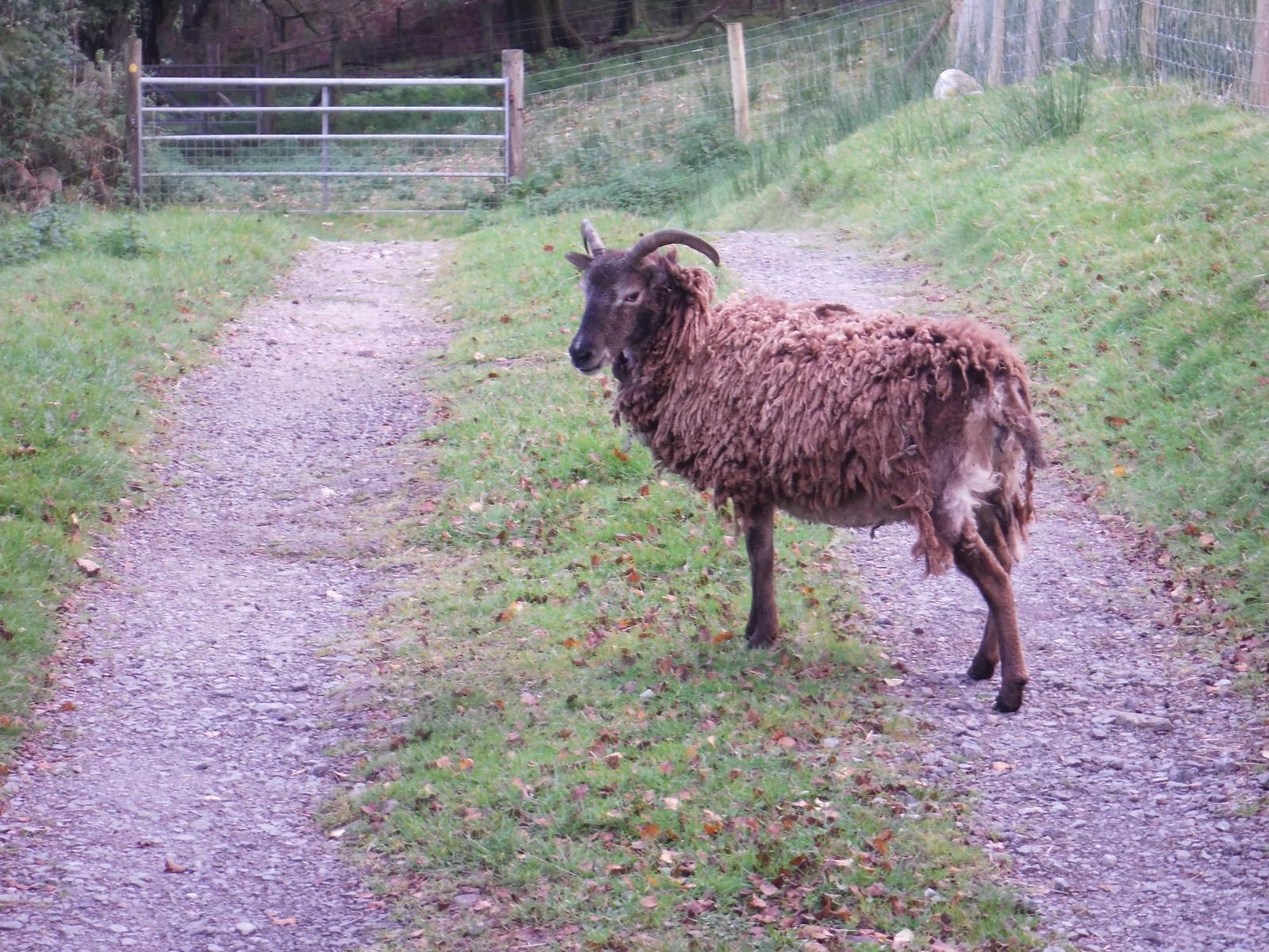 Sheep SWC Walk 280 Henrhyd Falls - Sgwd Henrhyd (Craig y Nos Circular)