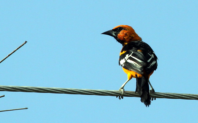 Header of Altamira Oriole