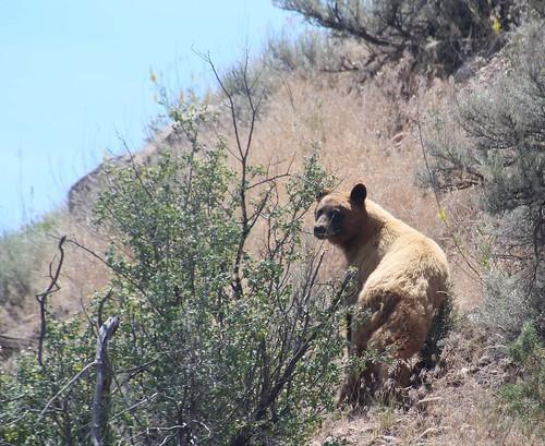 2015 animals blackbearursusamericanus carnivores colorado flickr gps landscapes mammals mountains usa unitedstatesofamerica