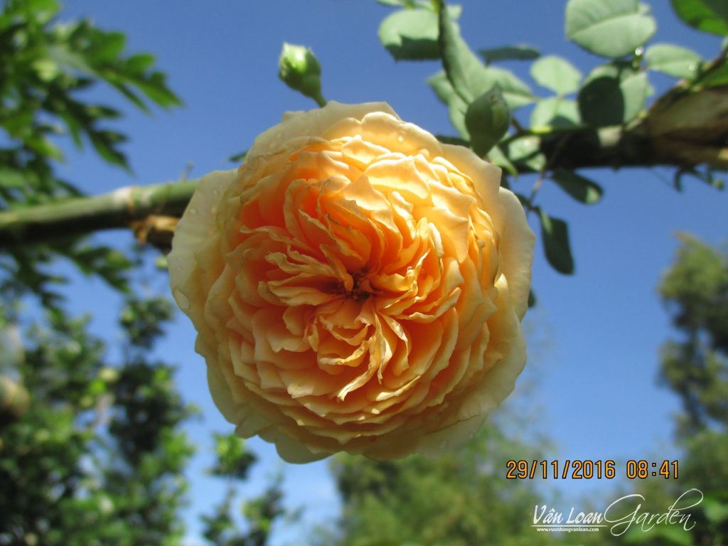 Crown Princess Margareta Rose (3)-vuonhongvanloan.com