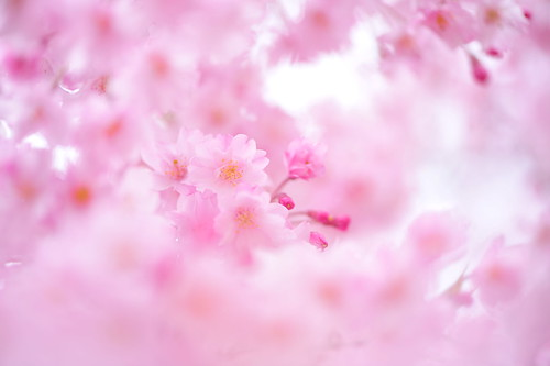 Sakura / On A Pink Cloud