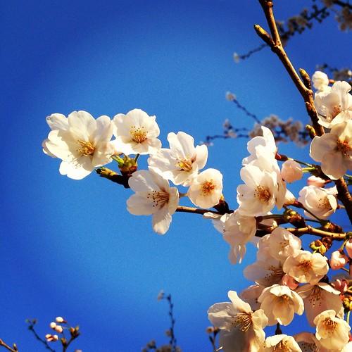お花見 (横浜みなとみらい)