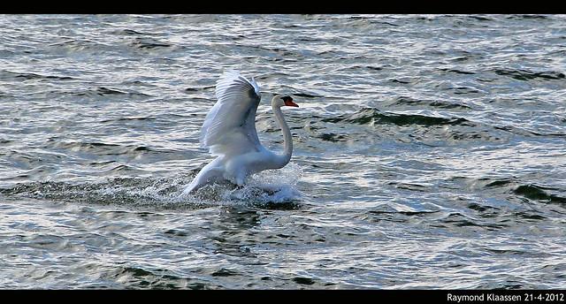 Zachte landing van zwaan in Markermeer. Het weer wordt ook zachter volgende week.