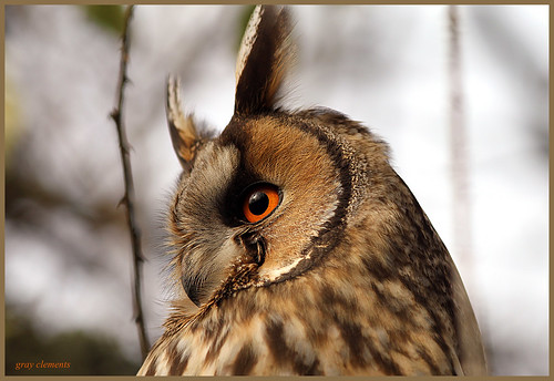 long eared owl (wild)  (explored)