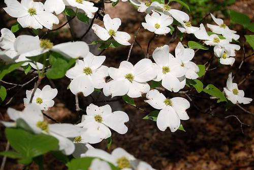 Cornus Florida blossom, the Dogwood tree, flowering tree from Missouri
