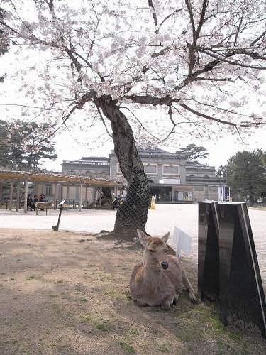 奈良公園の桜など-03