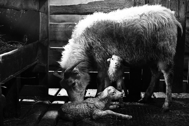 newborn sheep, first wash