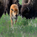 Bison Calf_0407.jpg