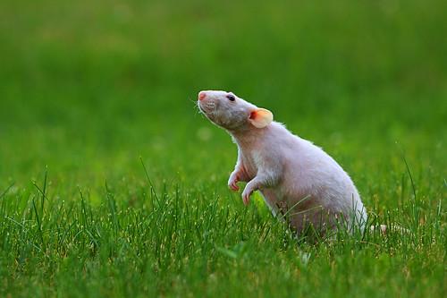 Free range rat by EricReed