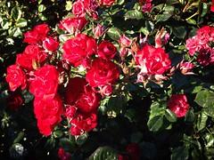 Rosebunch