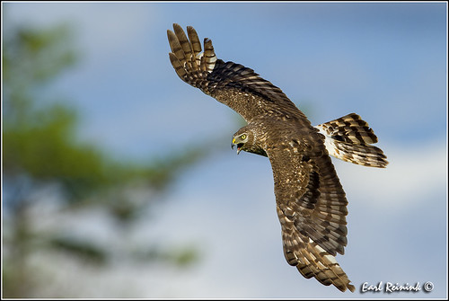 Northern Harrier Hawk (00625-0663)
