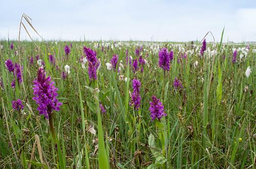Brede orchis (foto: Mark Meijrink)