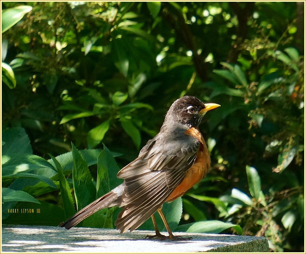 """Check out the orange feathers, pal,"" said the Robin.  ""It ain't no 'red breast'.   Facts is Facts, and it's orange, Buster"""