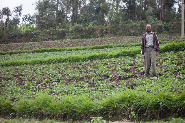 Muluneh plants Desho grass on soil conservation structure and feeds it to his sheep