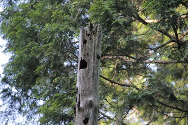 オオアカゲラが作ったのかな?大きな巣穴があった.