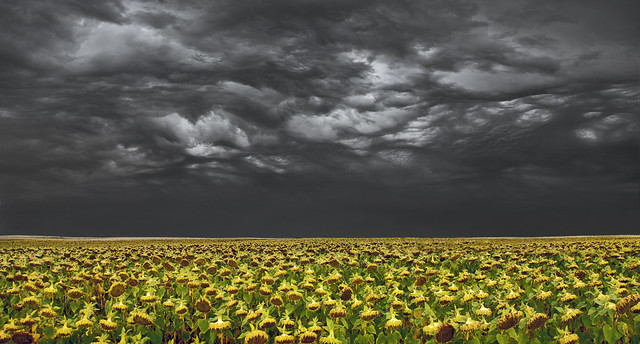 Sunflowers and Thunderstorm