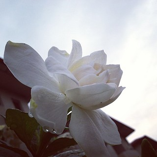 White flower #white #flower #sky #cloud