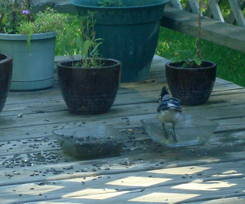 Bathing Blue Jay (2)