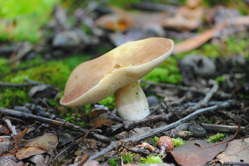 Белый гриб, боровик, Boletus Edulis (King Boletus) ?