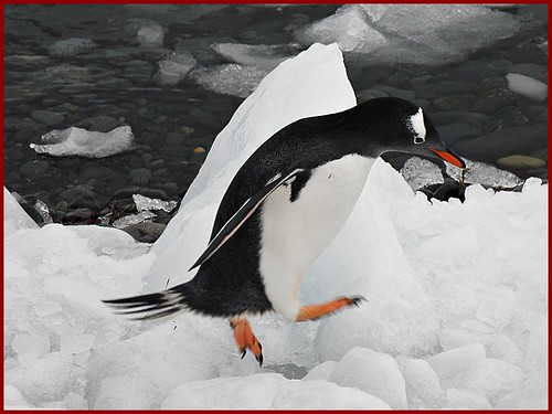 Gentoo Penguin, Antarctica by therese beck