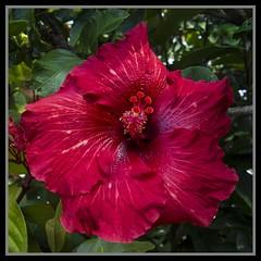 Red Hibiscus=1=