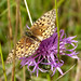 Small photo of Argynnis aglaja. Dark Green Fritillary