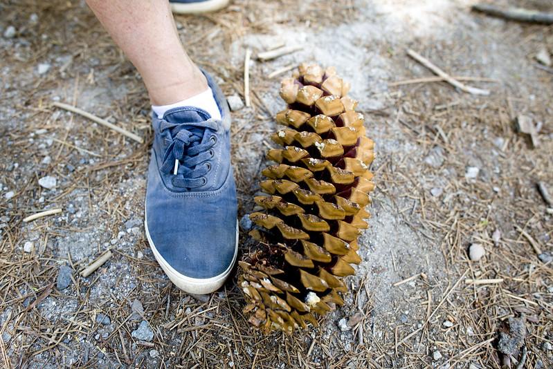Sequoia pine cone