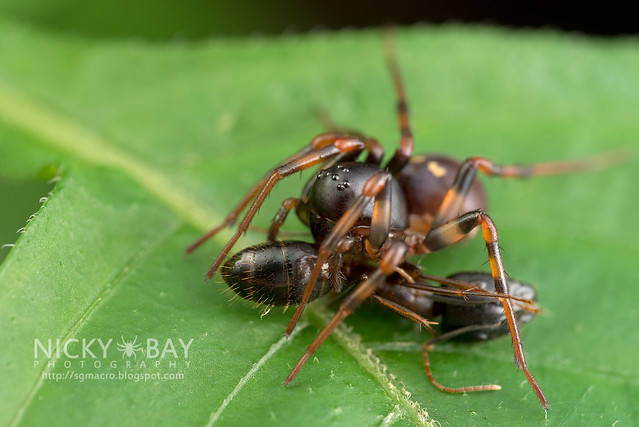 Ground Spider (Zodariidae) - DSC_3605