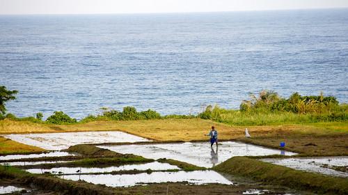 位於豐濱石梯坪的水梯田,兩年來在當地復耕團隊努力下恢復海浪拍打稻浪的獨特景色,也為地方產業奠基。(圖片來源:林務局)