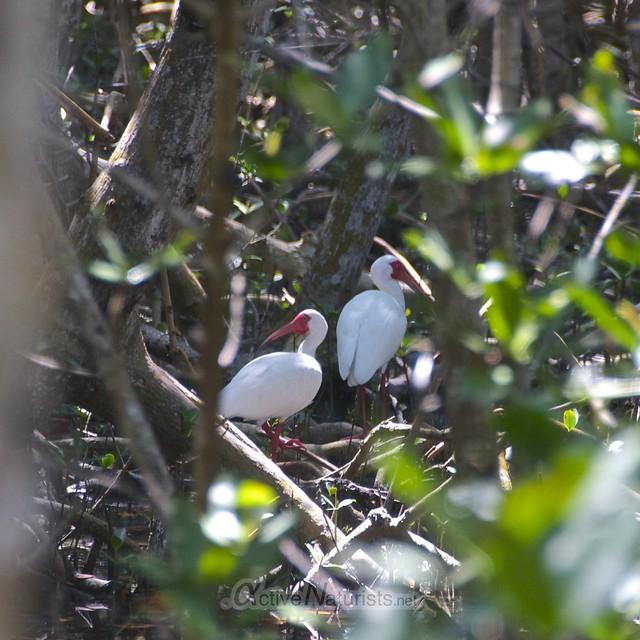 ibis 0000 Key Biscayne, Miami, Florida, USA
