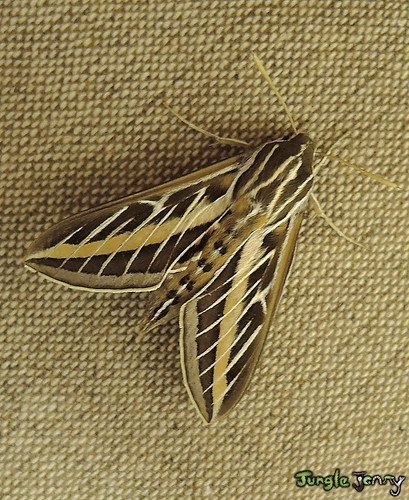 Jungle Jenny posted a photo:	Found a White-lined sphinx (Hyles lineata), commonly known as the hummingbird moth inside the house tonight. This cool creature is a key pollinator of the rare lemon lily (Lilium parryi) in California.