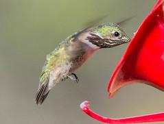 Calliope Hummingbird (Selasphorus calliope)