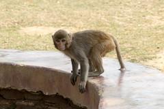 chimpanzee(0.0), baboon(0.0), common chimpanzee(0.0), animal(1.0), monkey(1.0), mammal(1.0), fauna(1.0), old world monkey(1.0), macaque(1.0), wildlife(1.0),