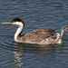 You put your right foot out - Western Grebe (Aechmophorus occidentalis) - Bolsa Chica Ecological Reserve by Jim Frazee
