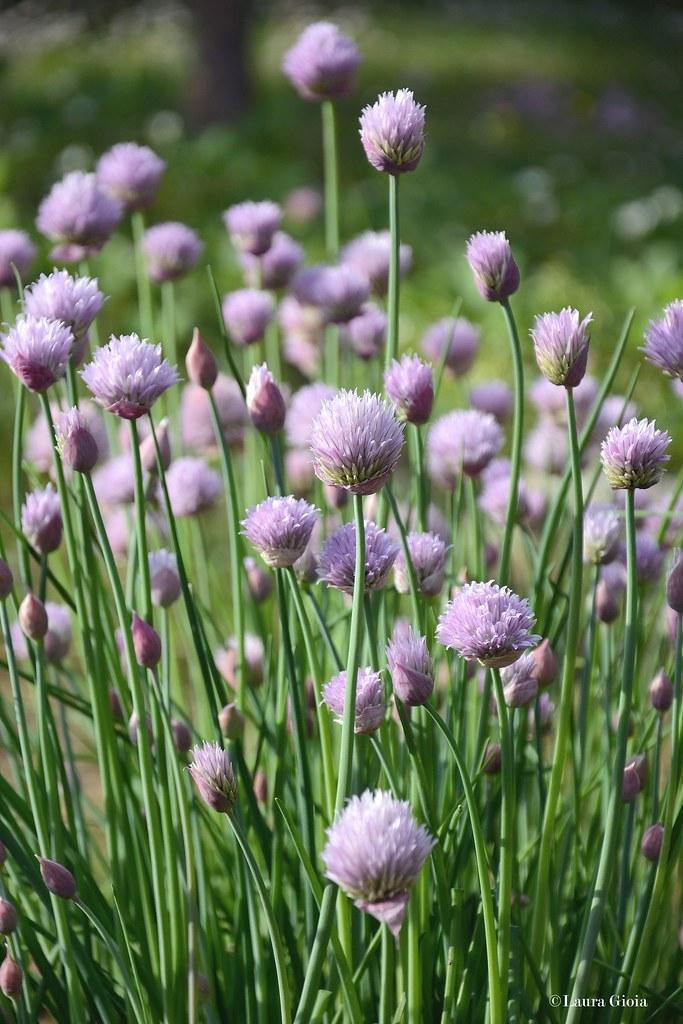fiori d'erba cipollina