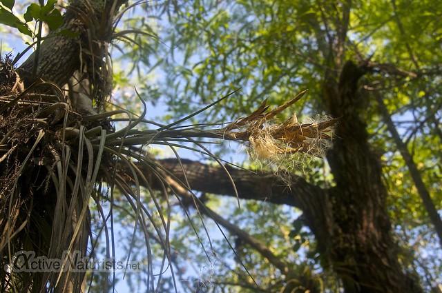 bromeliad 0001 Gator Hook Trail, Big Cypress National Preserve, Florida, USA