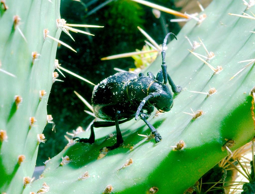 Cactus Longhorn Beetle (Moneilema gigas)
