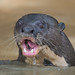 Giant River Otter by Tim Melling