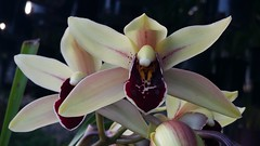 Cymbidium Everglades (parishii x Peter Pan)