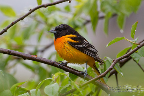 Oriole de Baltimore sous la pluie / Icterus galbula / Baltimore Oriole under the rain