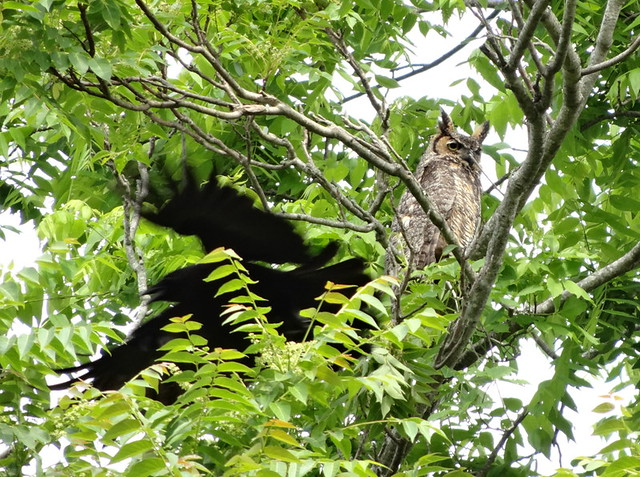 crow swishes by great horned owl