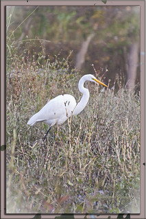 THE ELEGANT GREAT EGRET