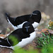 The Razorbill (Alca torda) the beauty queens of Skomer Island. Great Briton. by ajay's visual~panorama©
