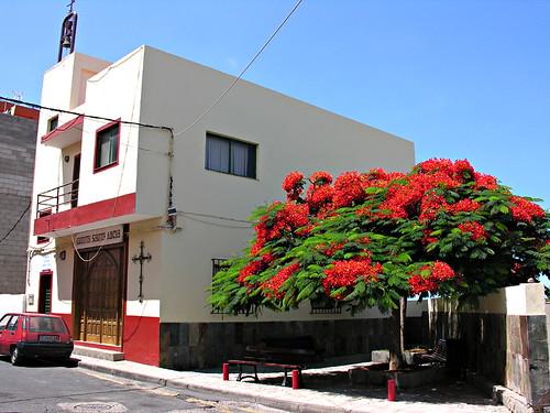 Flamboyance tree, Fonsalia, Tenerife