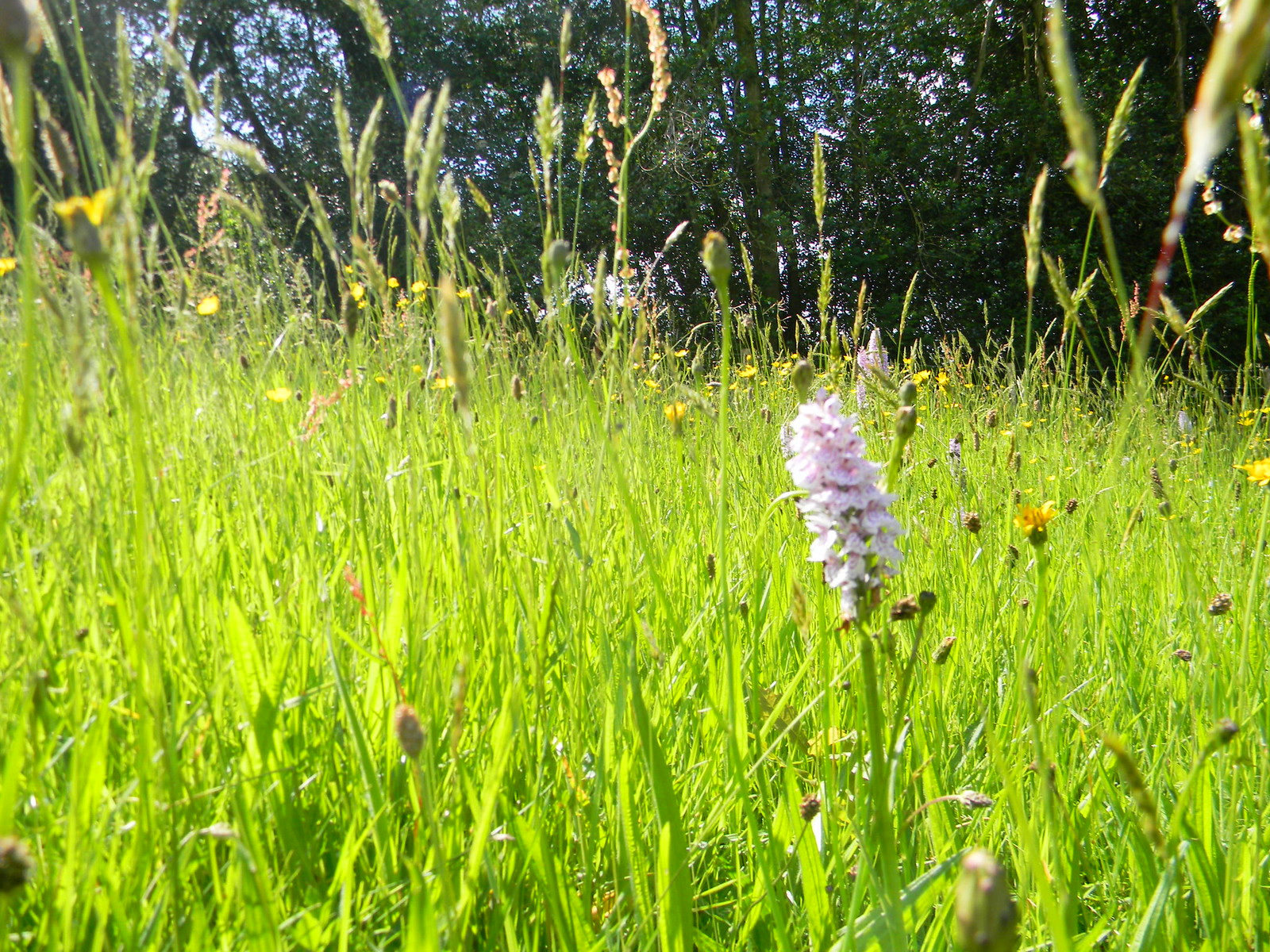 Orchid in flower meadow Haslemere to Midhurst