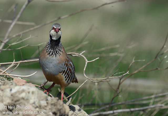 red legged partridge-3
